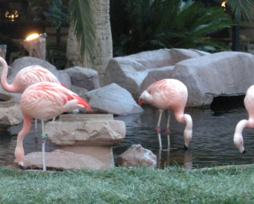 Flamingos at the Flamingo in Las vegas